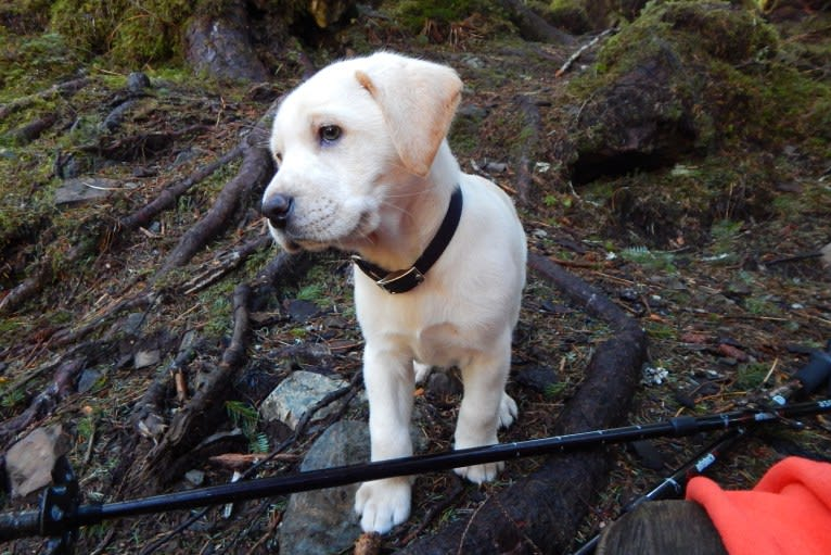 Photo of Orion, a Labrador Retriever, American Pit Bull Terrier, and Rottweiler mix in Sitka, Alaska, USA