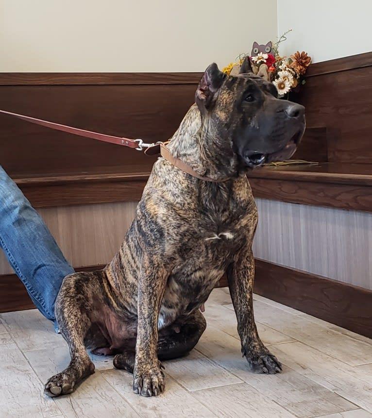 Photo of Zia, a Perro de Presa Canario  in Illinois, USA