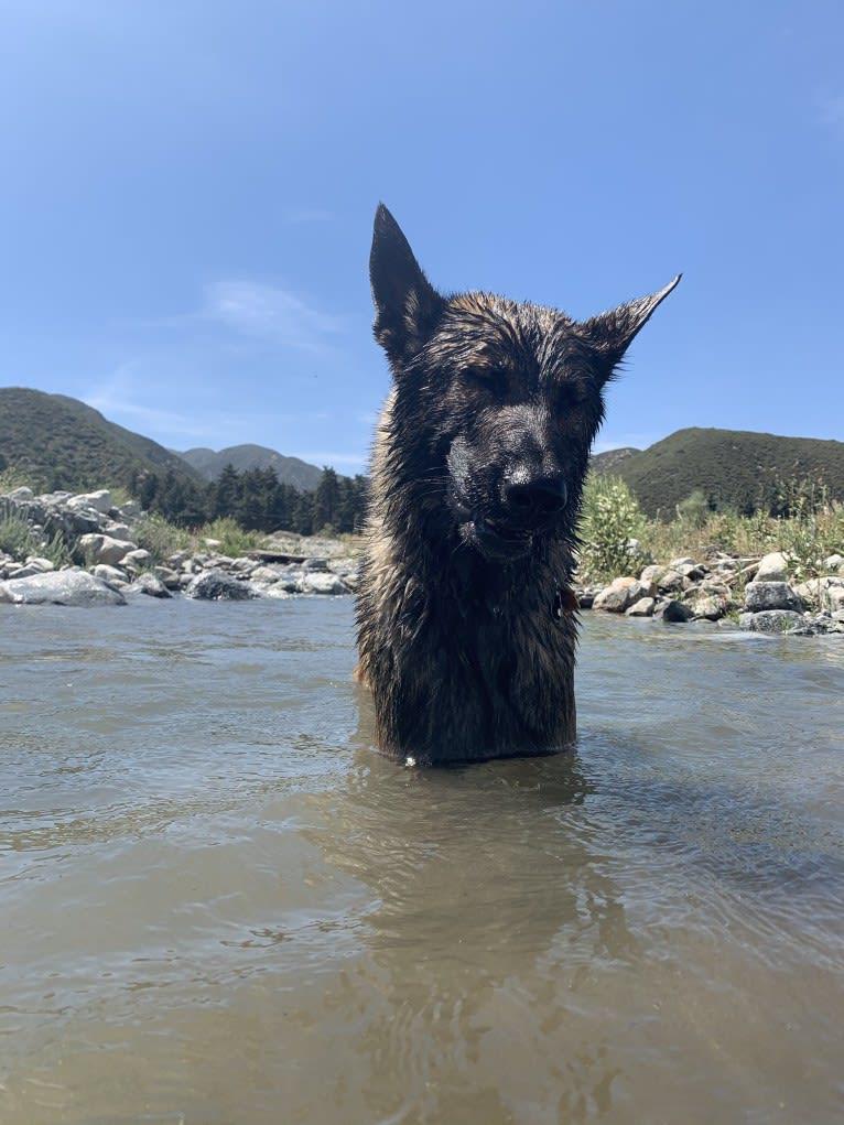 Photo of Rambo Alpha Ilio, a Belgian Malinois and German Shepherd Dog mix in Rialto, CA, USA