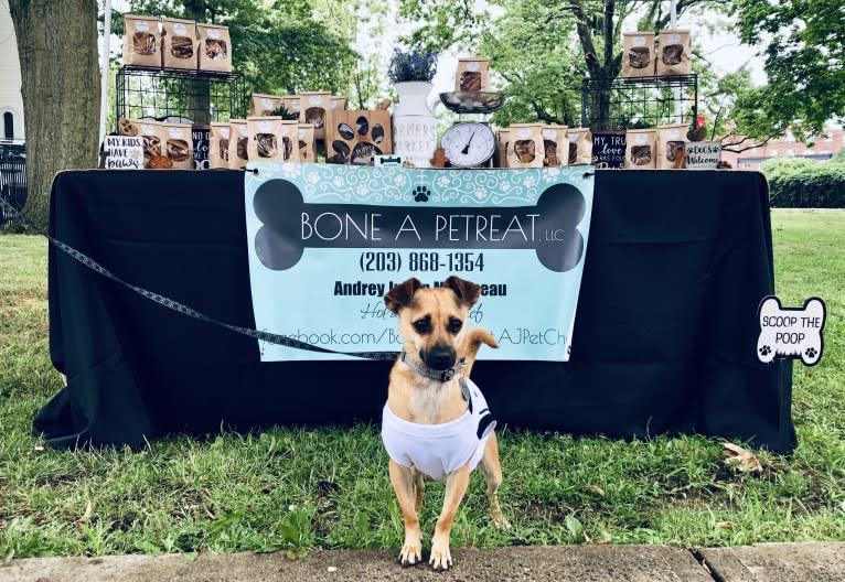 Photo of Willow, a Pomeranian, Chihuahua, and Shih Tzu mix in New Haven, Connecticut, USA