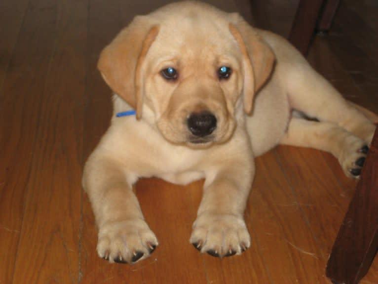 Photo of Xander, a Labrador Retriever  in Pennsylvania, USA