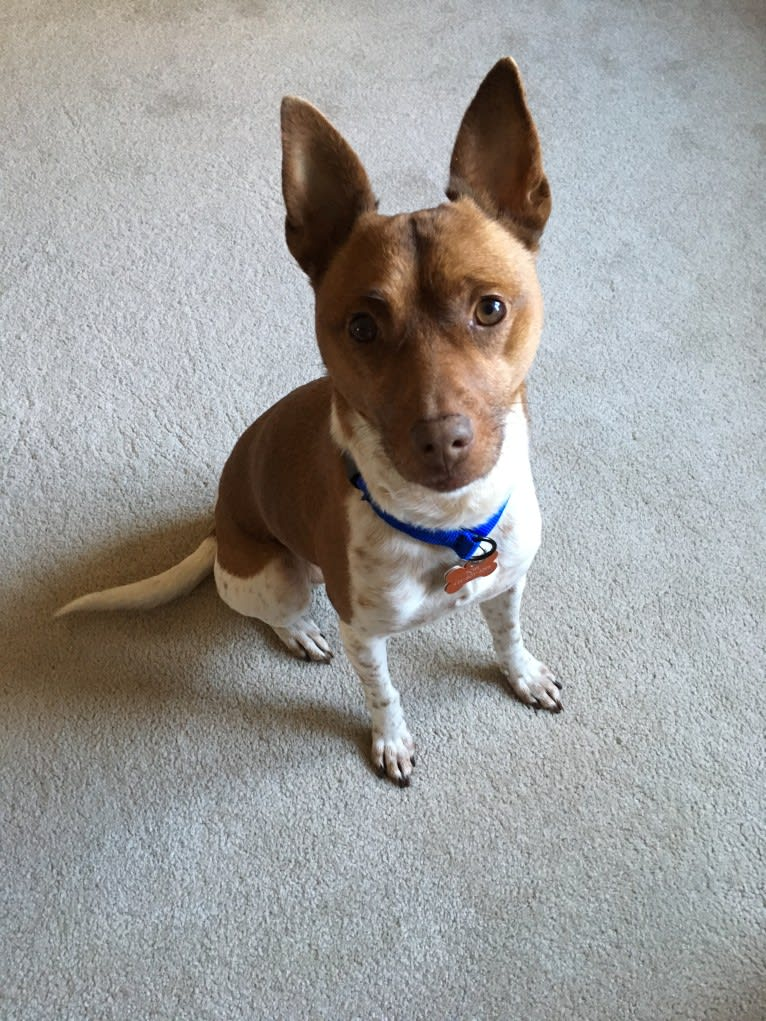 Photo of Topi, a Rat Terrier, Chihuahua, Pomeranian, English Springer Spaniel, and Mixed mix in Georgia, USA