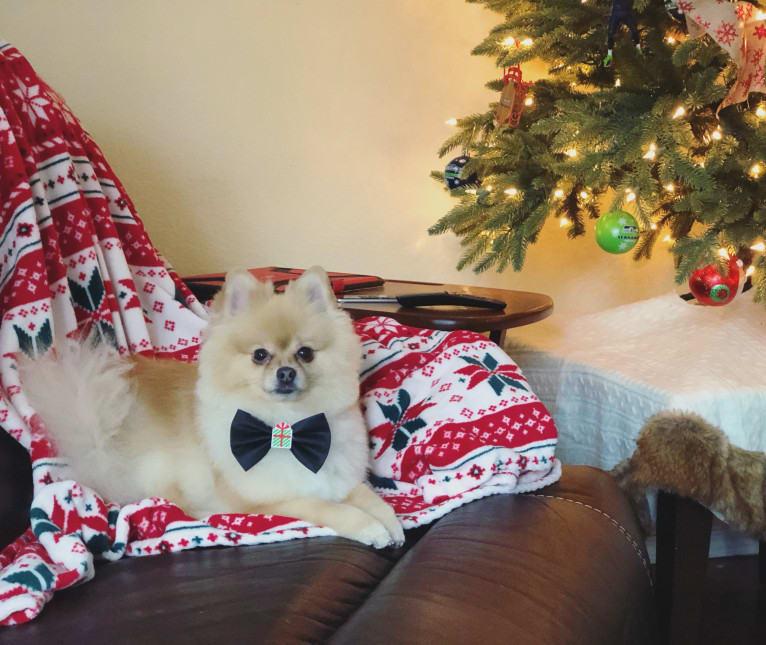Photo of Rory, a Pomeranian  in Blaine, WA, USA