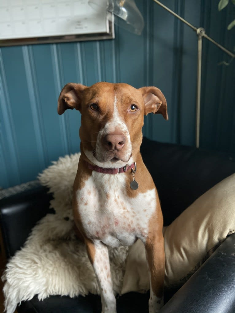 Photo of Lisa Lisa, an American Pit Bull Terrier and American Staffordshire Terrier mix in Nashville, Tennessee, USA