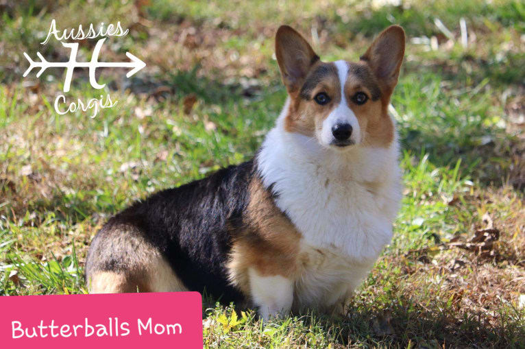 Photo of Butterball, a Pembroke Welsh Corgi  in Tennessee, USA