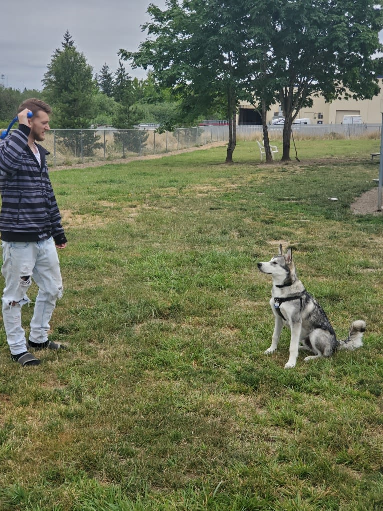 Photo of Yomi, an Alaskan Malamute and Siberian Husky mix in Tigard, Oregon, USA