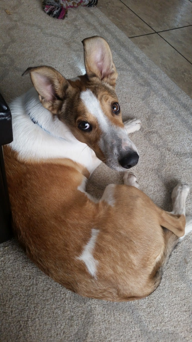 Photo of Wile E., a Collie, Siberian Husky, German Shepherd Dog, Australian Cattle Dog, and Mixed mix in Alamogordo, New Mexico, USA