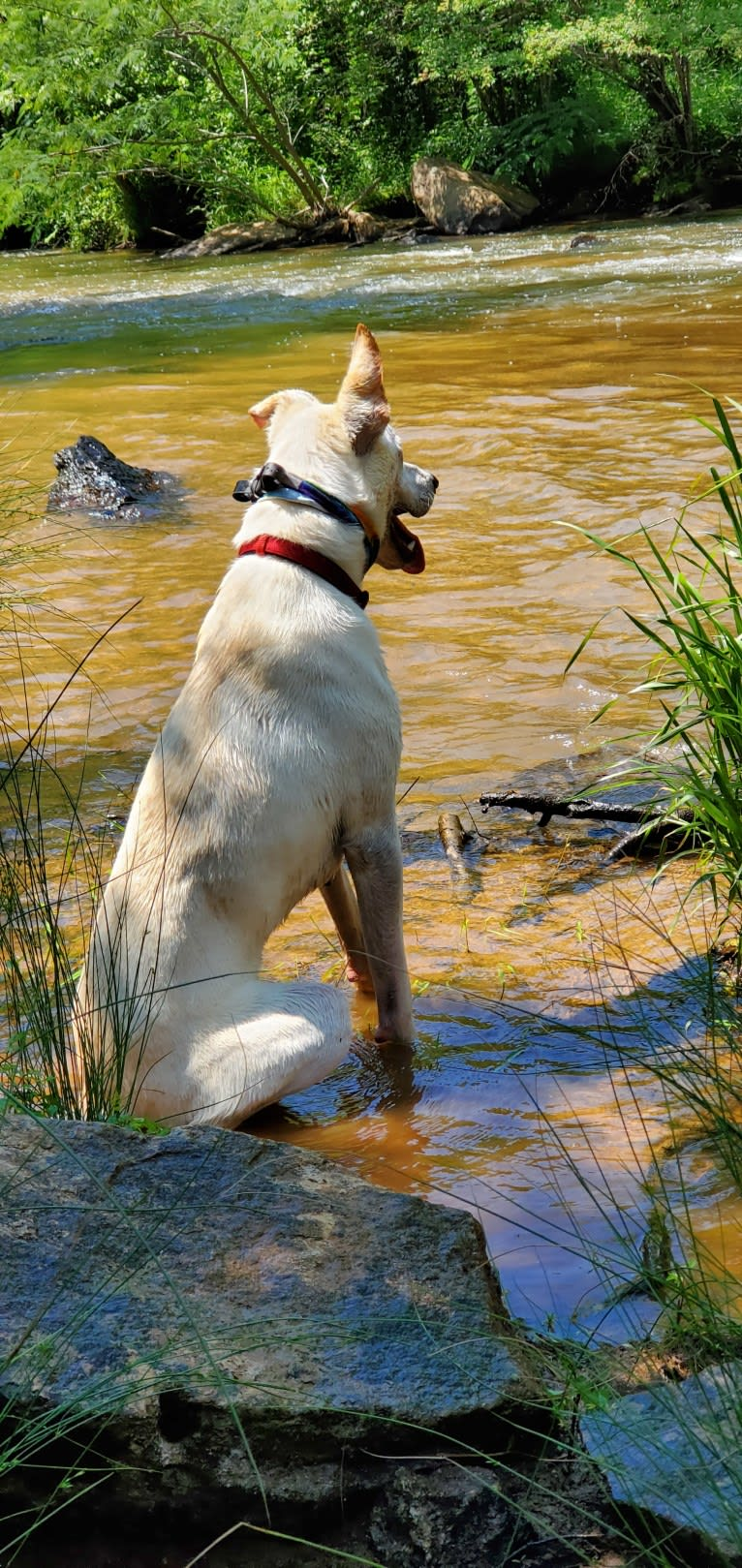Photo of Ruger, a German Shepherd Dog, Labrador Retriever, Chow Chow, and American Pit Bull Terrier mix in Taylors, South Carolina, USA