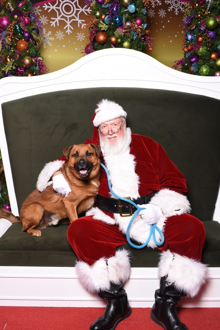 Photo of Finn, a Rottweiler, American Pit Bull Terrier, Chow Chow, and Mixed mix in Webster, Texas, USA
