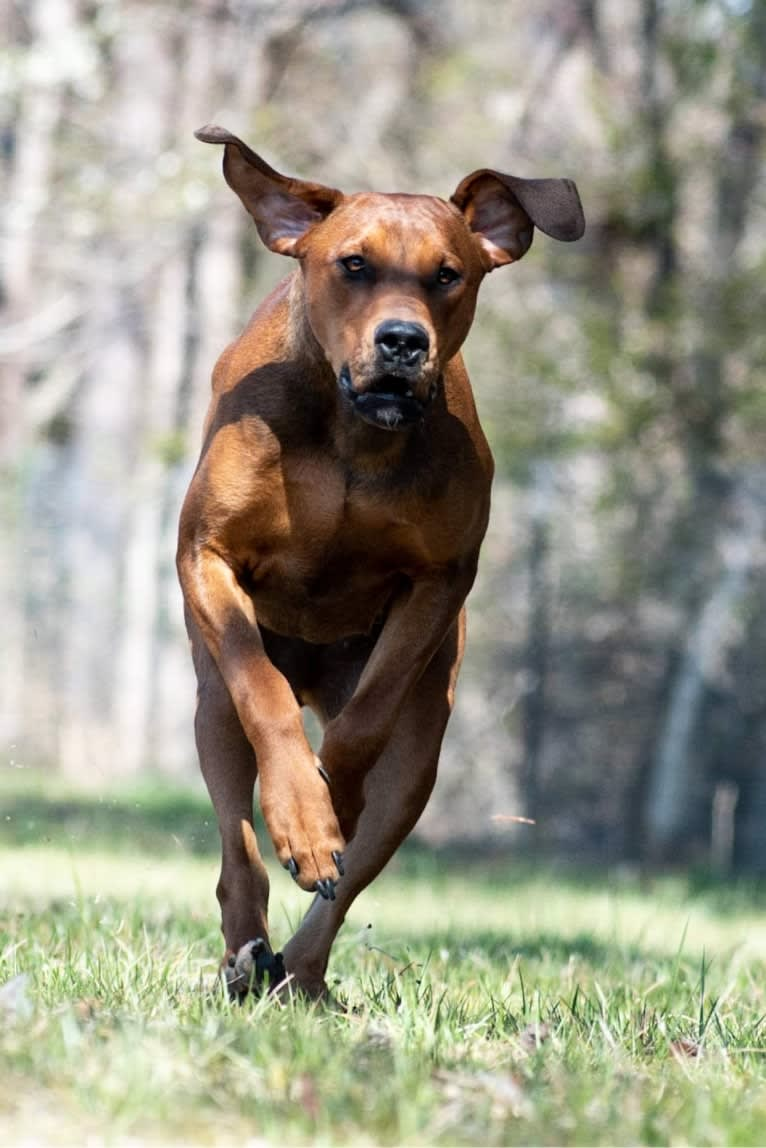 Photo of The Southsiders, a Doberman Pinscher and Great Dane mix in Reidsville, North Carolina, USA