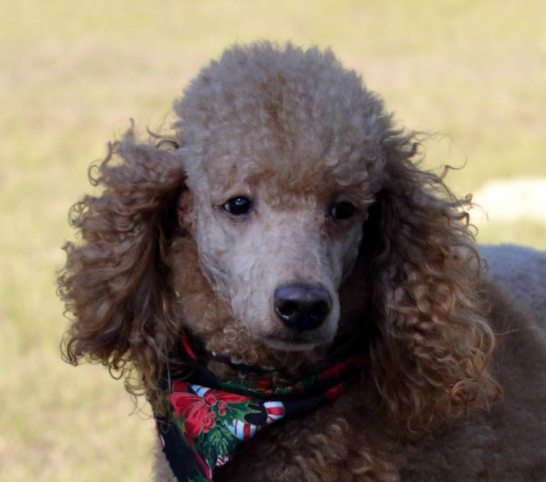 Photo of Rio, a Poodle
