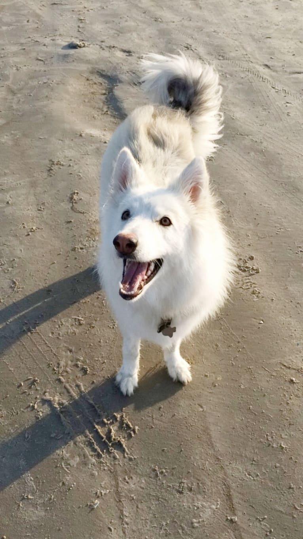 Photo of Athena, a German Shepherd Dog and Siberian Husky mix