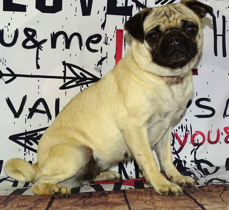 Photo of Miso, a Pug