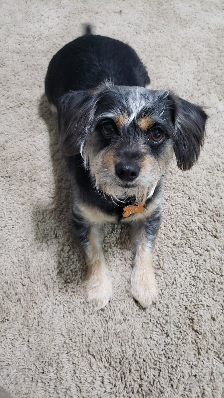 Photo of Gracie, a Chihuahua, Dachshund, Poodle (Small), Cocker Spaniel, and Mixed mix in Lake Charles, Louisiana, USA