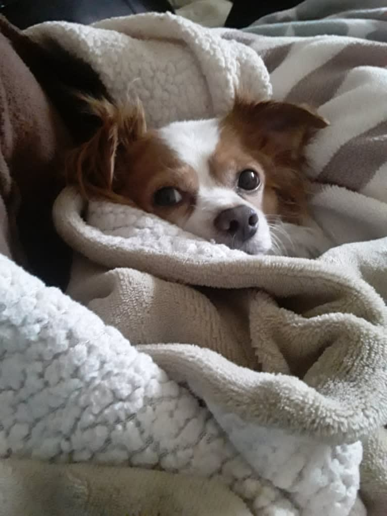 Photo of Cappy, a Chihuahua  in Arkansas, USA