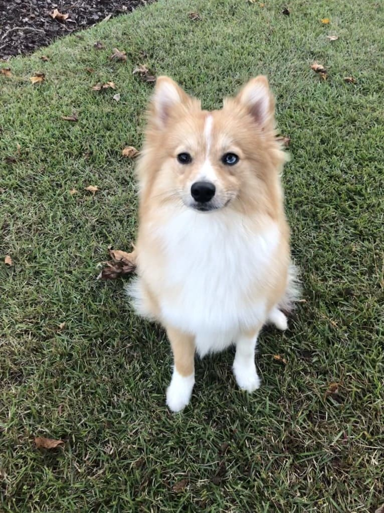 Photo of Dallas, a Pomsky  in Arlington, TX, USA