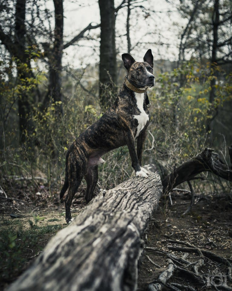 Photo of Kino, an American Pit Bull Terrier and American Staffordshire Terrier mix in Georgia, USA