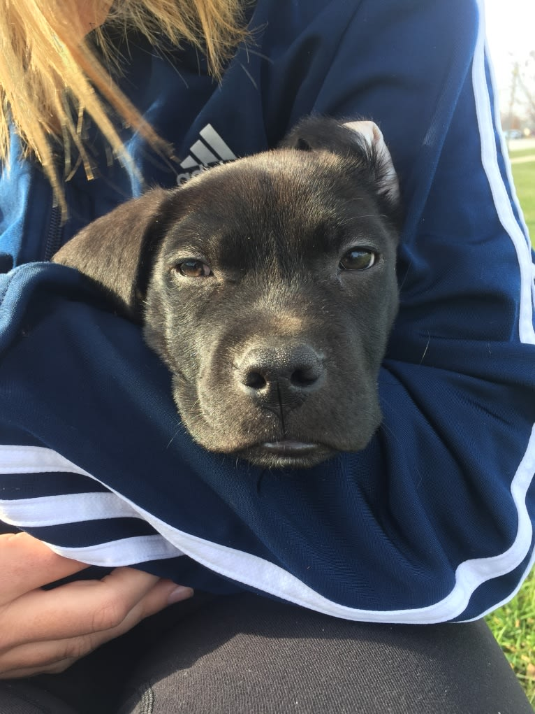 Photo of Moose, an American Pit Bull Terrier and Beagle mix in Griffith, Indiana, USA