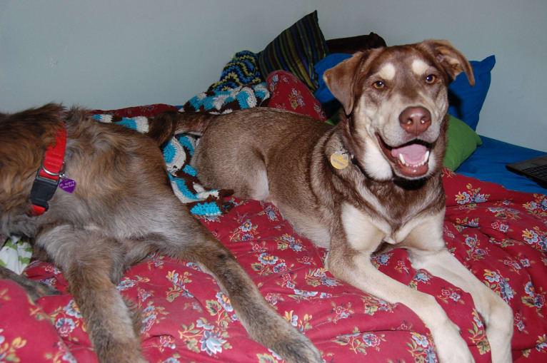 Photo of Chu, a Labrador Retriever, Siberian Husky, Golden Retriever, and Chow Chow mix in Midlothian, Virginia, USA