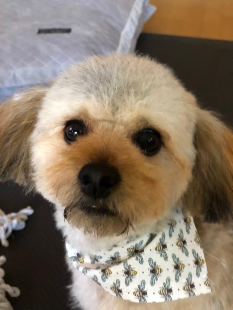 Photo of Teddy - HAUS of Ruxpin, a Chihuahua, Poodle (Small), Shih Tzu, and Mixed mix in Santa Clara, California, USA