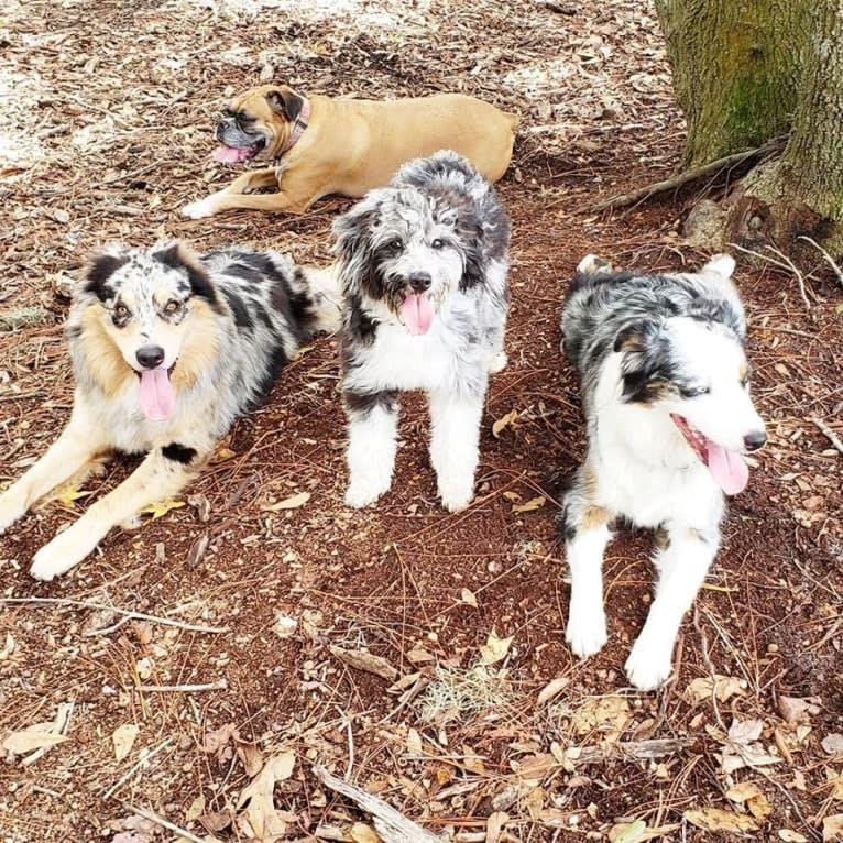 Photo of Dodge, an Australian Shepherd Group  in Readyville, Tennessee, USA