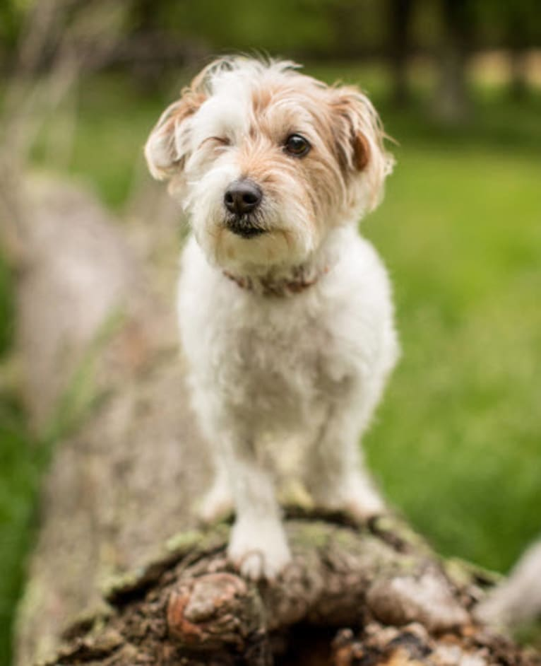 Photo of Aika, a Russell-type Terrier mix in Virginia, USA
