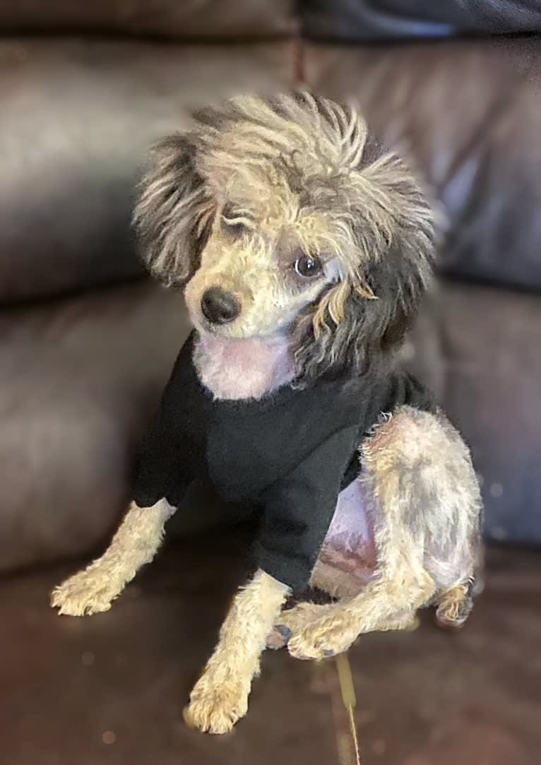 Photo of Karma, a Poodle (Small)  in Clarksville, TN, USA