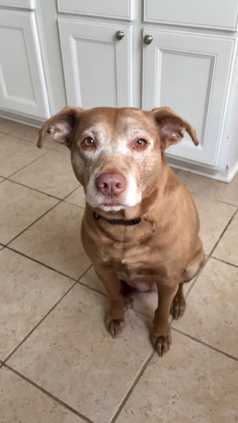 Photo of Copper, an American Pit Bull Terrier, Australian Cattle Dog, Chow Chow, and Mixed mix in Texas, USA