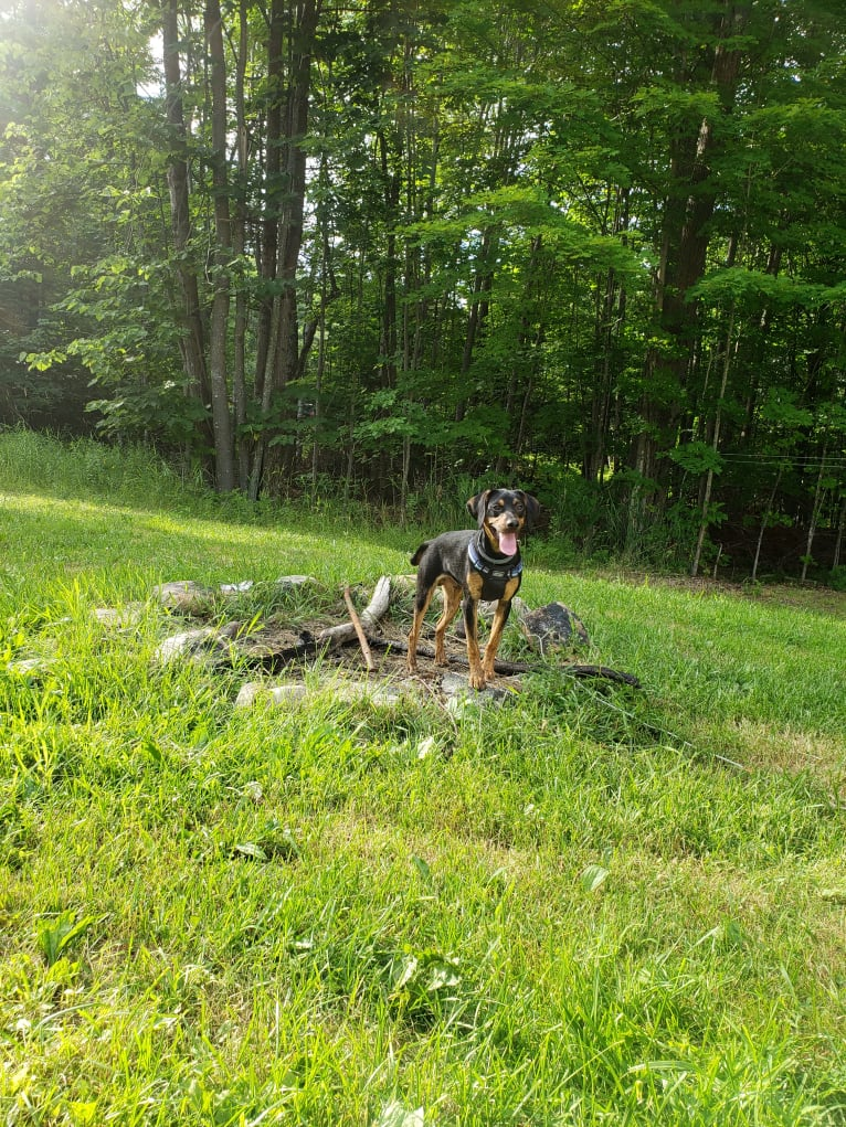 Photo of Boone, a Catahoula Leopard Dog, Poodle (Small), and Labrador Retriever mix in Cobleskill, NY, USA