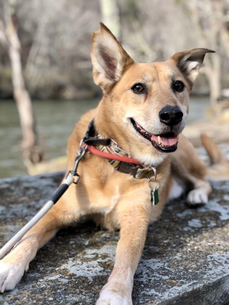 Photo of Bradley, a Chow Chow, German Shepherd Dog, and Mixed mix in Atlanta, Georgia, USA