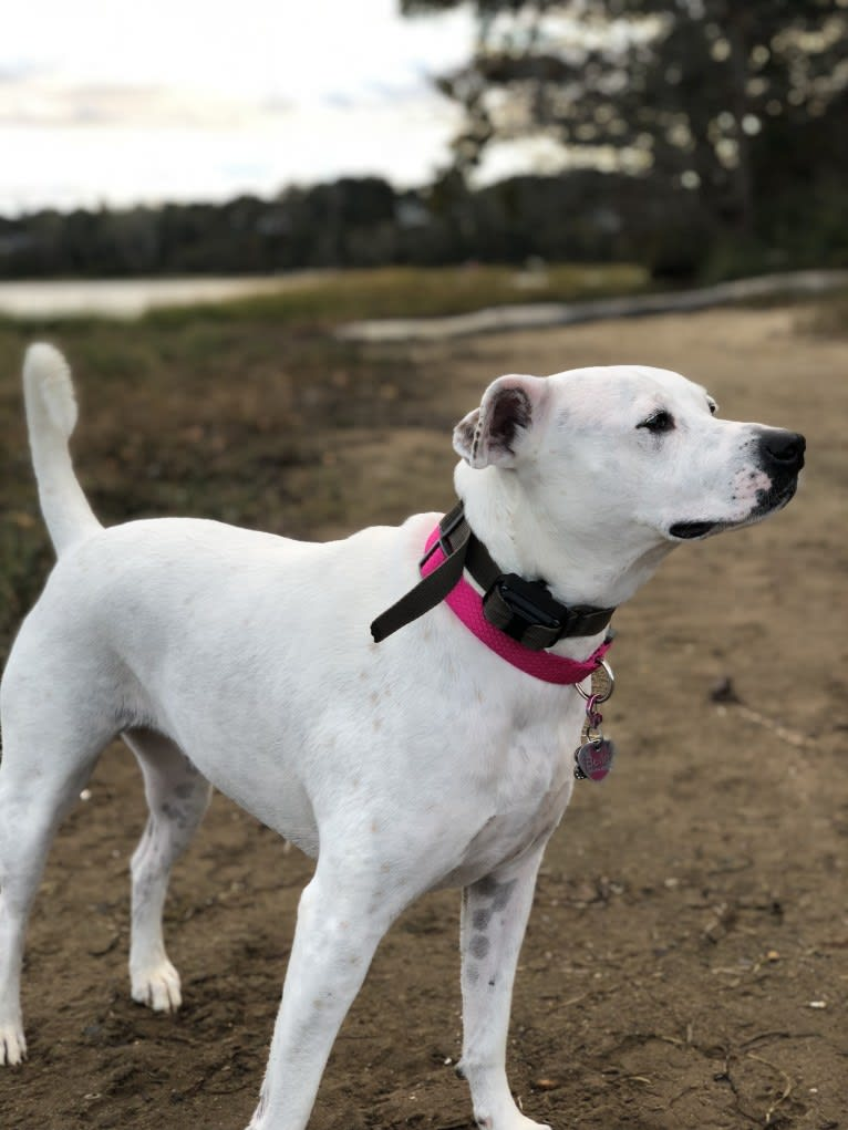 Photo of Belle, an American Pit Bull Terrier, Chow Chow, Labrador Retriever, and German Shepherd Dog mix in Tennessee, USA