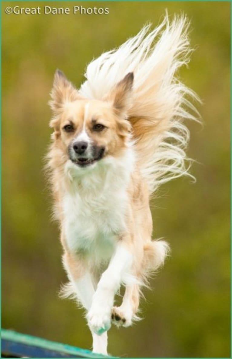 Photo of Siren, an American Eskimo Dog, American Pit Bull Terrier, Cocker Spaniel, German Shepherd Dog, and Mixed mix