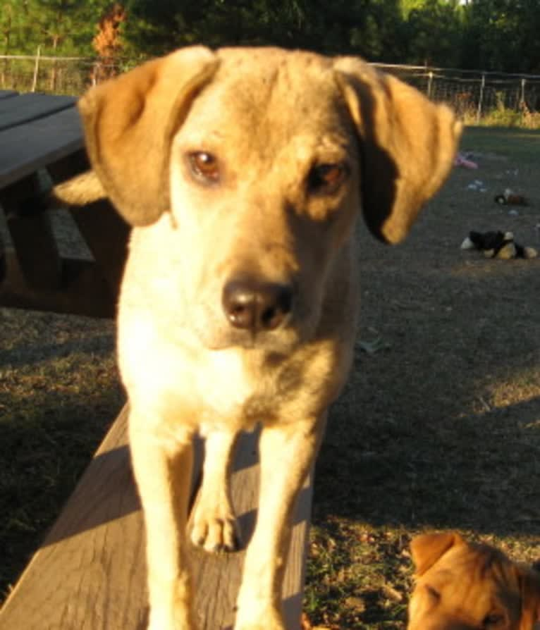 Photo of Chase, an American Pit Bull Terrier, Great Pyrenees, Beagle, and Mixed mix in Alabama, USA