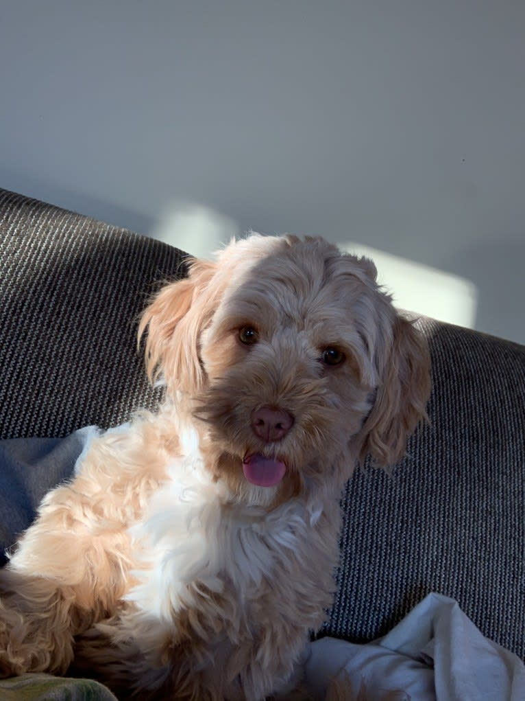 Photo of Daisy, a Poodle (Small), Shih Tzu, Maltese, and Mixed mix in Iqaluit, Nunavut, Canada