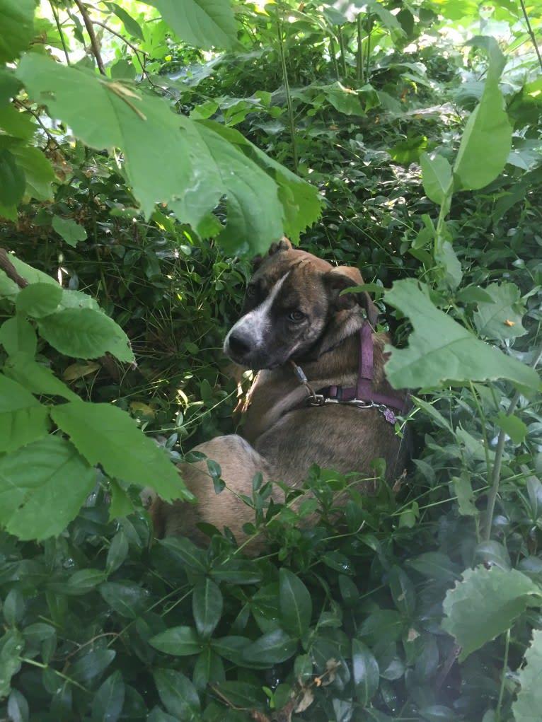 Photo of Pepper Ann, an American Bulldog and Siberian Husky mix in Idaho Falls, Idaho, USA