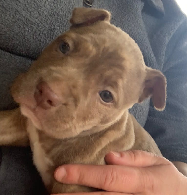 Photo of Oliver, an American Pit Bull Terrier and American Staffordshire Terrier mix in Houston, Texas, USA