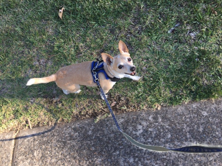 Photo of Malcolm, a Chihuahua, Russell-type Terrier, Rat Terrier, Smooth Fox Terrier, and Mixed mix in Sydney, New South Wales, Australia