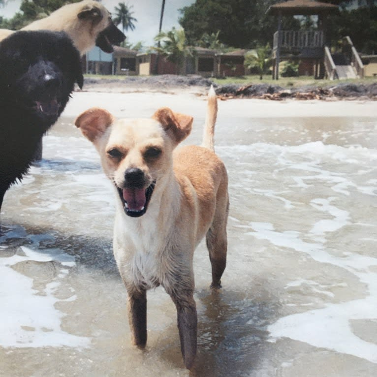 Photo of Blip, a Chihuahua, Cocker Spaniel, German Shepherd Dog, and Mixed mix in Puerto Rico