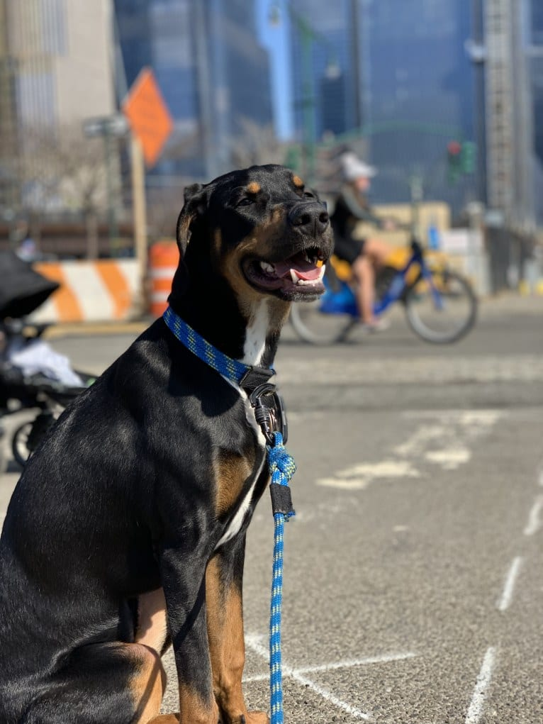 Photo of Andy, a Treeing Walker Coonhound, Redbone Coonhound, Norwegian Elkhound, and American Pit Bull Terrier mix in New York, New York, USA