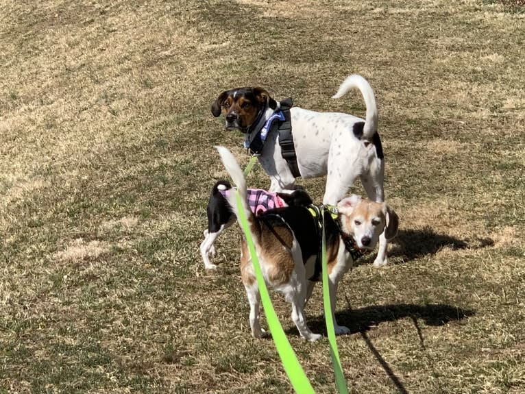 Photo of Zoey, a Beagle, Rat Terrier, and Mountain Cur mix
