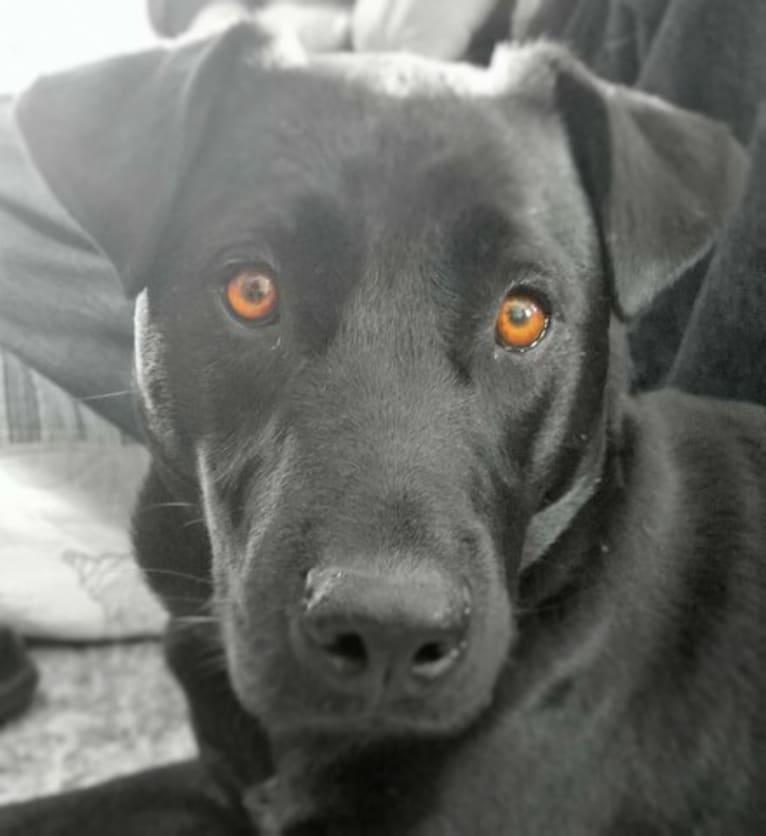 Photo of Pogie, an American Pit Bull Terrier, German Shepherd Dog, Siberian Husky, Golden Retriever, Boxer, and Mixed mix