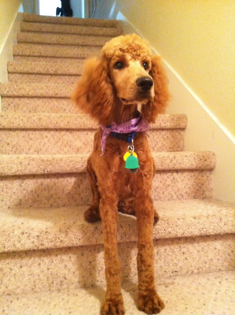 Photo of Apollo, a Poodle (Standard)  in McGregor, TX, USA