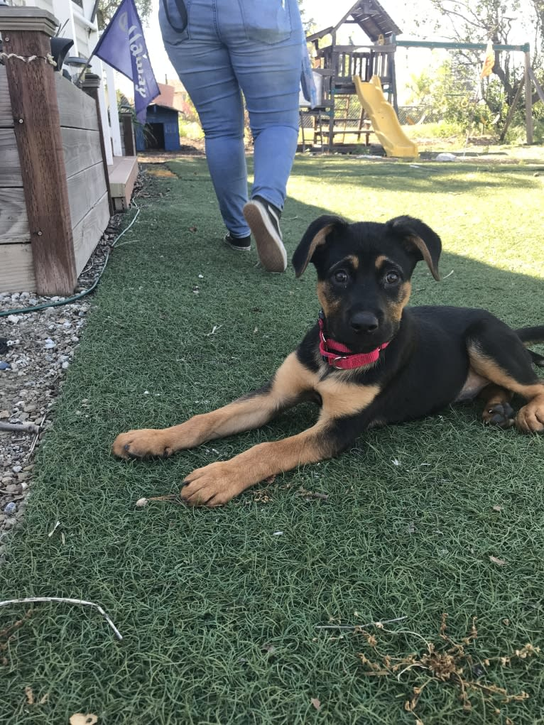 Photo of Lancelot, a Rottweiler and German Shepherd Dog mix in Humane Society Silicon Valley, Ames Avenue, Milpitas, CA, USA