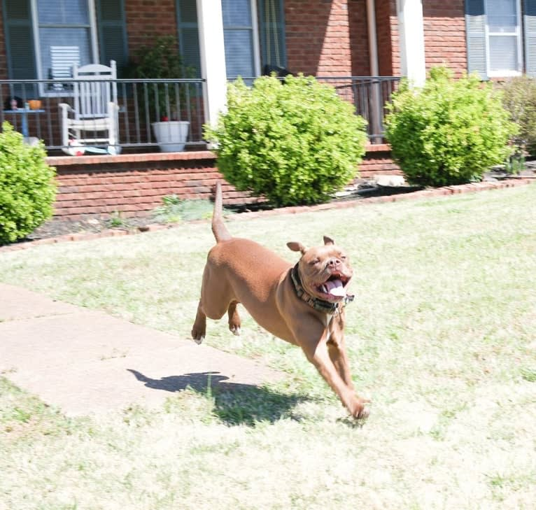 Photo of Hooch, a Staffordshire Terrier, American Bulldog, and Bulldog mix in Bartlett, Tennessee, USA