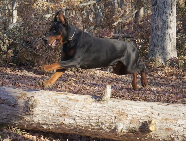 Photo of Dillinger, a Doberman Pinscher  in Kursk, Russia