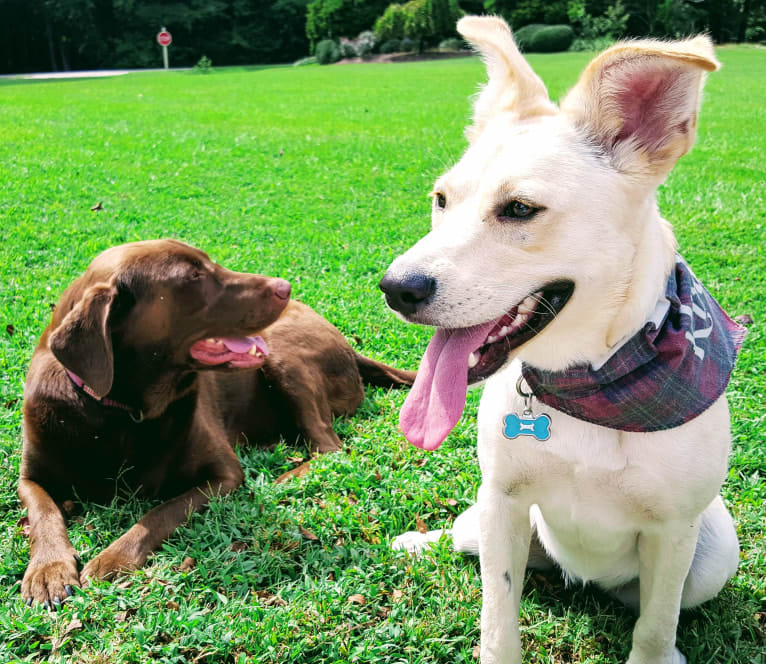 Photo of Kirby, a German Shepherd Dog, Boxer, and Labrador Retriever mix in Wilson, North Carolina, USA