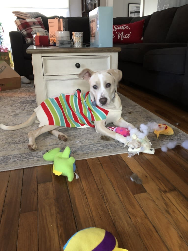 Photo of Alabama, an American Pit Bull Terrier, Labrador Retriever, Boxer, Beagle, and American Staffordshire Terrier mix in Alabama, USA