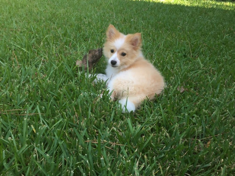 Photo of Foxley, a Pomeranian  in Jackson, Mississippi, USA