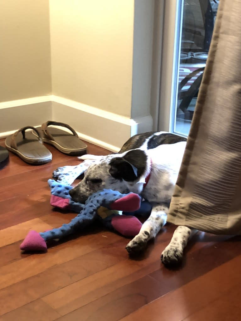 Photo of Hayes, a Boston Terrier, American Pit Bull Terrier, and Australian Cattle Dog mix