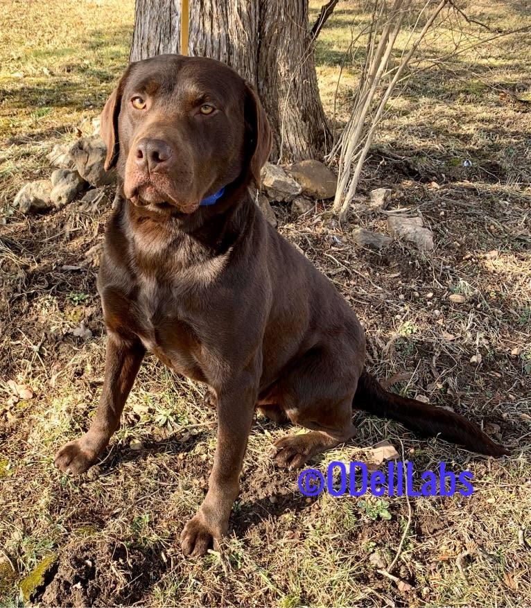 Photo of O'Dell's Daniel, a Labrador Retriever